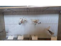 White Zebra Finches. 3 for £10 or £5 each.