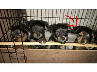 Beautiful Yorkies for sale