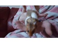 Syrian Hamster called Colin plus hamster heaven cage
