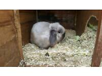 Seal point mini lop