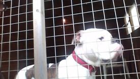 dre is looking for ever home he is American bull dog