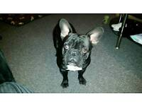 Kc registered male French bulldog For sale with papers