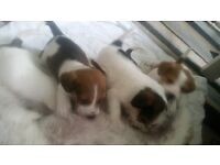 4 male Jack russel puppies