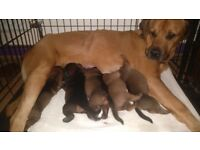 Very Chunky 3/4 Rottweiler 1/4 Mastiff Puppies for sale