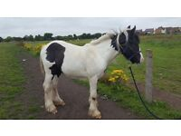 Yearling cob for sale