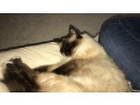 Gorgeous Ragdoll cat