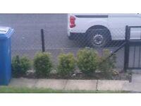 Buxus hedging