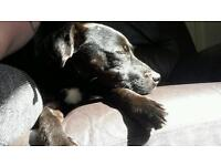 Soft Haired Patterdale terrier looking for a good home