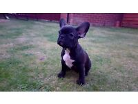 Beautiful French Bulldogs puppies - only one girl left