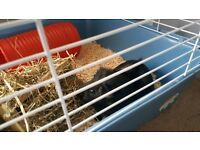 2 friendly male guinea pigs with cage and accessories