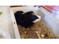2 male Ginea pigs for sale £50 with indoor house