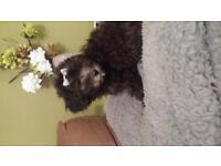 bichon frise x toy poodle girl