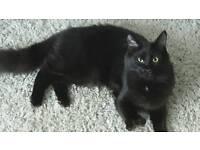 Mainecoon X cat