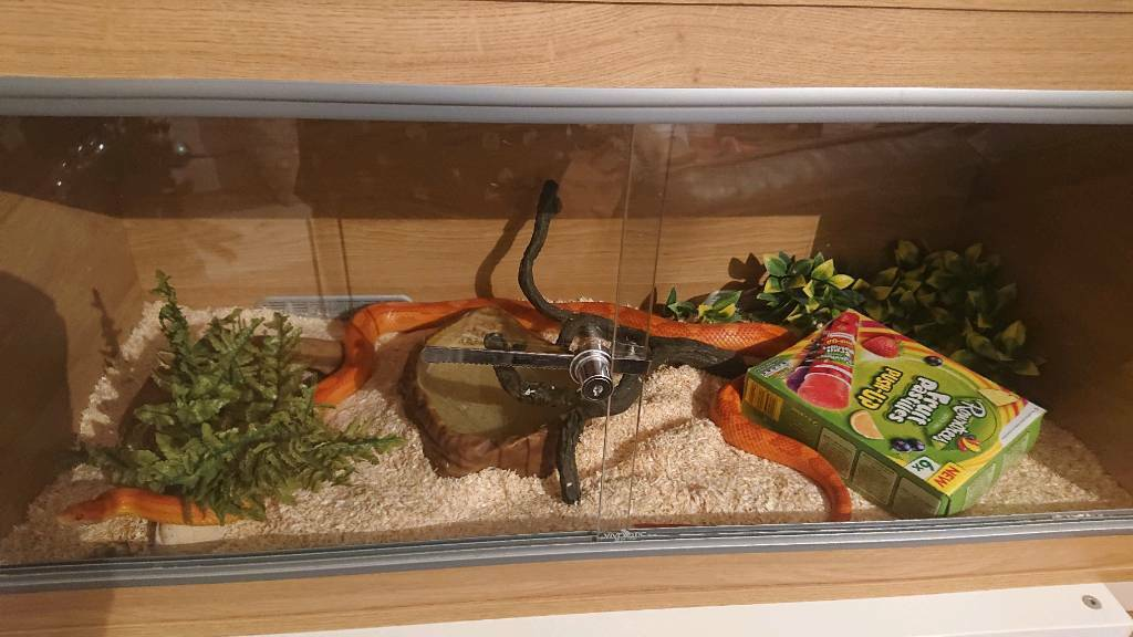 Adult Amel Corn Snake Vivarium In Dunfermline Fife Gumtree