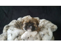 Stunning Pedigree Shih Tzu Puppies