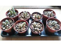 small cactus £1 each