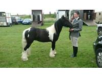 4 year old mini cob for sale 12hh