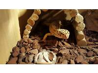 Leopard gecko and setup