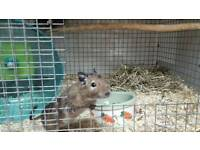 5 female degus with cage and accessories