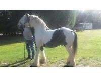 13.3hh Black & white stallion, 13.3hh
