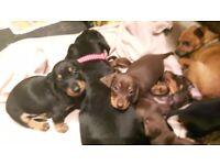 Beautiful minature dachshund 1 chocolate boy left