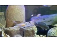 Juvenile cichlids