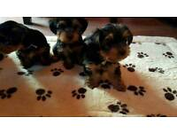 Lovely Yorkshire Terrier Puppies