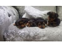 Toy Yorkshire Terrier Puppies 3 bitches 1 dog