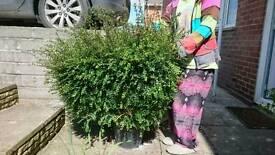 URGENT!!!! Box plant needs selling!