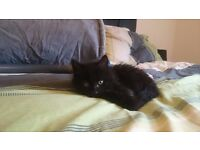 Free male kitten - 8 weeks old, litter trained, very playful, active and healthy!