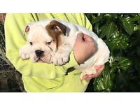 ENGLISH Bulldog puppies,british bulldog,KC REGISTERED, champions blood line pet puppy READY NOW
