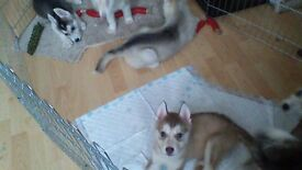 Healthy malamute x husky for sale - only 1 left