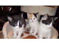 GORGEOUS FLUFFY KITTENS FOR SALE (Part Persian & Part Ragdoll & Mixed Breed Long haired)