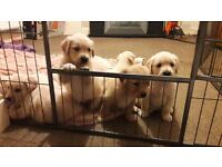 Last boy Golden retriever puppy left