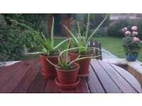 Aloe Vera Plants Homegrown