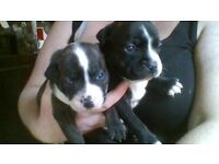 staffy puppys for sale