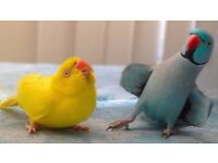 Beautiful Baby 12wks Various Colours Availible talking Parrot