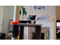 1 year & 4 months old Male Short Domestic Hair with Full Medical