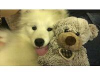 Samoyed Huskey needs new home (f-5months)