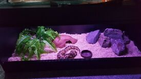 Pastel Royal python snake and vivarium