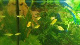 Gold fish Oranda 2 months old