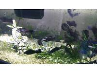 Tropical Fish - Mollys