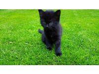 Only 1 left Half Norwegian Forest kitten for sale