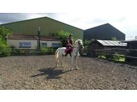 lovely 6 year old Lipizzaner
