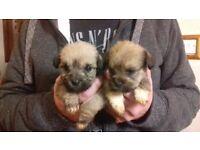 sch-tzu puppies (shih-tzu/schnauzer cross) (none shed hypoallergenic dogs)