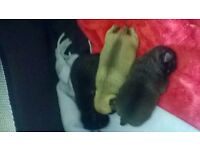 3 Beautiful KC reg pug puppies for sale!