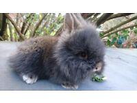Four lionlop baby bunnies