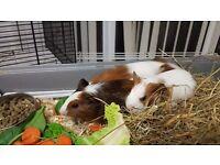 Guinea pig males