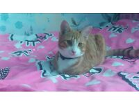 lovely ginger males cats 5 month old