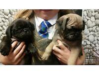 3\4 pug puppies